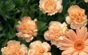 母亲节康乃馨 1 13 母亲节康乃馨 花卉壁纸