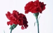 母亲节康乃馨 1 8 母亲节康乃馨 花卉壁纸