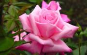 蔷薇写真 1 79 蔷薇写真 花卉壁纸