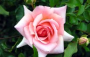 蔷薇写真 1 78 蔷薇写真 花卉壁纸