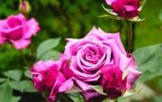 蔷薇写真 1 76 蔷薇写真 花卉壁纸