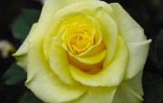 蔷薇写真 1 74 蔷薇写真 花卉壁纸