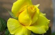 蔷薇写真 1 73 蔷薇写真 花卉壁纸