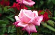 蔷薇写真 1 71 蔷薇写真 花卉壁纸