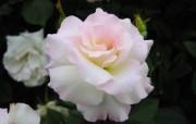 蔷薇写真 1 70 蔷薇写真 花卉壁纸