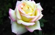 蔷薇写真 1 69 蔷薇写真 花卉壁纸
