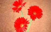 鲜花特写 1 15 鲜花特写 花卉壁纸