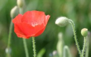 鲜艳的虞美人 Corn Poppy Flower Wallpapers 花卉 虞美人图片 Desktop Wallpaper of poppy flower 鲜艳的虞美人Corn Poppy Flower Wallpapers 花卉壁纸