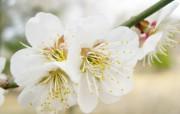 樱花桃花摄影壁纸 花卉壁纸