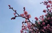 樱花桃花图片壁纸 peach and cherry Desktop Wallpaper 樱花桃花摄影壁纸 花卉壁纸