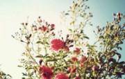 青春的玫瑰 柔和诗意花草摄影 印象主义LOMO风格花草随拍 花卉壁纸