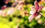 粉红花朵 柔和诗意风格摄影 印象主义LOMO风格花草随拍 花卉壁纸