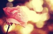 粉红的玫瑰 柔和诗意风格摄影 印象主义LOMO风格花草随拍 花卉壁纸