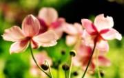 幸福的感觉 柔和粉红秋樱壁纸 印象主义LOMO风格花草随拍 花卉壁纸