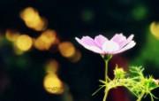 粉红秋樱 柔和诗意风格摄影 印象主义LOMO风格花草随拍 花卉壁纸