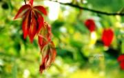 火红秋叶 捕捉自然之美壁纸 印象主义LOMO风格花草随拍 花卉壁纸