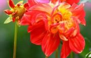 雍容华贵的大丽菊 壁纸1 雍容华贵的大丽菊 花卉壁纸