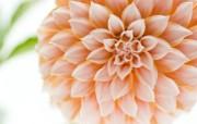 雍容华贵的大丽菊 壁纸5 雍容华贵的大丽菊 花卉壁纸