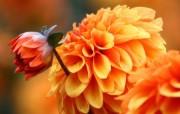 雍容华贵的大丽菊 壁纸17 雍容华贵的大丽菊 花卉壁纸
