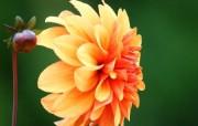 雍容华贵的大丽菊 壁纸18 雍容华贵的大丽菊 花卉壁纸
