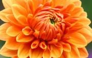 雍容华贵的大丽菊 壁纸19 雍容华贵的大丽菊 花卉壁纸