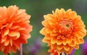 雍容华贵的大丽菊 壁纸20 雍容华贵的大丽菊 花卉壁纸