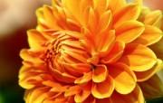 雍容华贵的大丽菊 壁纸21 雍容华贵的大丽菊 花卉壁纸