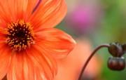 雍容华贵的大丽菊 壁纸23 雍容华贵的大丽菊 花卉壁纸