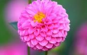 雍容华贵的大丽菊 壁纸24 雍容华贵的大丽菊 花卉壁纸