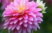 雍容华贵的大丽菊 壁纸26 雍容华贵的大丽菊 花卉壁纸