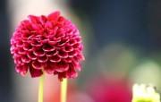 雍容华贵的大丽菊 壁纸31 雍容华贵的大丽菊 花卉壁纸