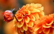 雍容华贵的大丽菊 花卉壁纸