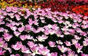 1024郁金香 1 40 1024郁金香 花卉壁纸