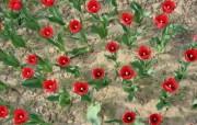 1920郁金香 1 8 1920郁金香 花卉壁纸