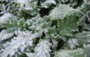 冰雪植物 1 19 冰雪植物 花卉壁纸