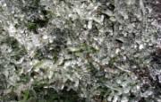 冰雪植物 1 13 冰雪植物 花卉壁纸