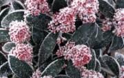 冰雪植物 1 12 冰雪植物 花卉壁纸