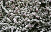 冰雪植物 1 10 冰雪植物 花卉壁纸