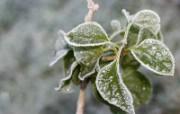 冰雪植物 1 8 冰雪植物 花卉壁纸