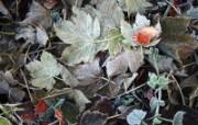 冰雪植物 1 6 冰雪植物 花卉壁纸