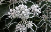 冰雪植物 1 3 冰雪植物 花卉壁纸
