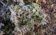 冰雪植物 1 2 冰雪植物 花卉壁纸