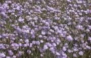 超大叶脉花草 1 10 超大叶脉花草 花卉壁纸