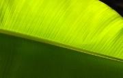 超大叶脉花草 1 4 超大叶脉花草 花卉壁纸
