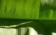 超大叶脉花草 1 3 超大叶脉花草 花卉壁纸