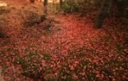 枫叶满地 1 19 枫叶满地 花卉壁纸