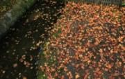 枫叶满地 1 18 枫叶满地 花卉壁纸