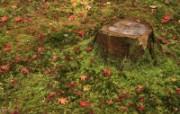 枫叶满地 1 15 枫叶满地 花卉壁纸