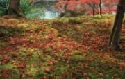枫叶满地 1 14 枫叶满地 花卉壁纸