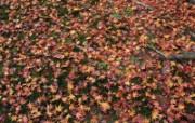 枫叶满地 1 12 枫叶满地 花卉壁纸